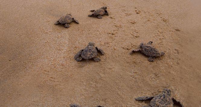Rekawa Beach Tangalle Turtle